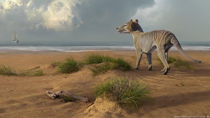 thylacine-02-696