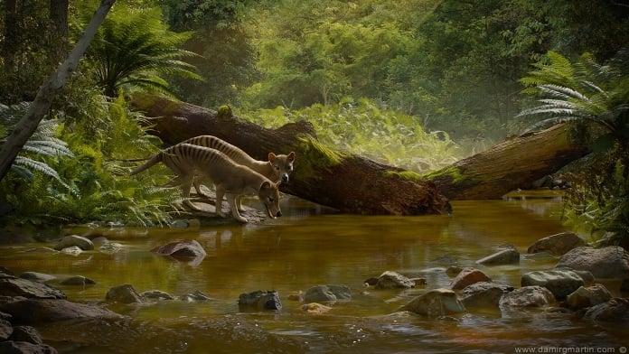 thylacine-03-696-new