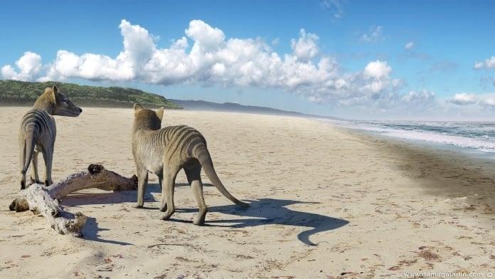 thylacine-04-696-new