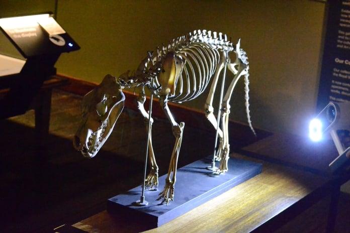 thylacine-10-696-1